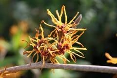 Fiore marzo Regno Unito della nocciola di strega del Hamamelis Fotografie Stock