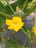Fiore maschio nella pianta del cetriolo immagine stock