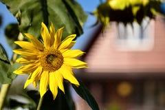 Fiore maturo del girasole in sole luminoso di estate su fondo del rura fotografia stock