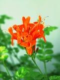 Fiore mediterraneo arancione Fotografia Stock