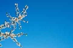Fiore meraviglioso dell'albero di prugna. Immagine Stock Libera da Diritti