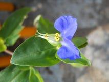 Fiore meraviglioso di Commelina communis Fotografia Stock
