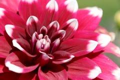 Fiore meraviglioso di pinnata della dalia Fotografia Stock