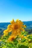 Fiore messicano di tournesol con il fondo del cielo nuvoloso Fotografie Stock Libere da Diritti