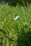 Fiore minuscolo dell'insetto minuscolo Fotografie Stock Libere da Diritti