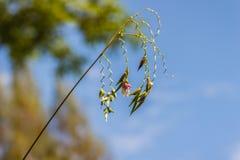 Fiore minuscolo sveglio del geniculata di talia, anche conosciuto come la alligatore-bandiera, la maranta arundinacea, l'acqua Ca Immagine Stock