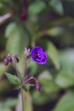 Fiore modesto del geranio della foresta Fotografia Stock Libera da Diritti