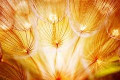 Fiore molle del dente di leone Fotografie Stock