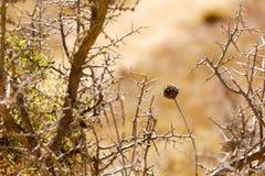 Fiore morto fra i cespugli spinosi Fotografia Stock