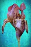 Fiore multicolore o giglio dell'iride con aroma intenso fotografia stock