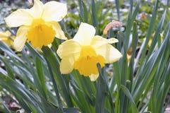 Fiore-narcisi nel parco della città Fotografie Stock