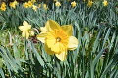 Fiore-narcisi nel parco della città Fotografia Stock