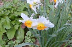 Fiore-narcisi nel parco della città Immagine Stock