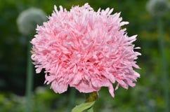 Fiore in natura Fotografia Stock