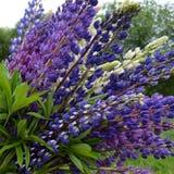 Fiore, natura, porpora, piante, fiori, molla, verde, blu, giardino, lavanda, lupino, campo, fiorendo, fiorire, floreale, rosa, fotografie stock libere da diritti
