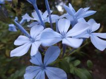 Fiore naturale del plumbago nello Sri Lanka immagini stock