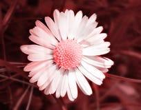 Fiore nel colore rosso Fotografie Stock Libere da Diritti