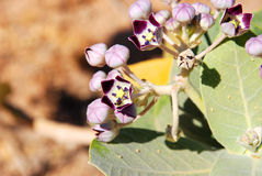 Fiore nel deserto dell'Oman Fotografie Stock