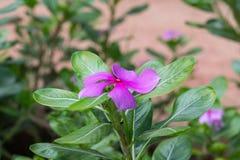 Fiore nel giardino Immagine Stock