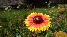 Fiore nel giardino di tha Immagini Stock