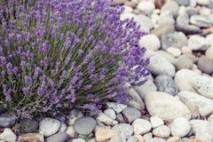 Fiore nel giardino, parco, cortile, fiore della lavanda del prato in Th Fotografia Stock