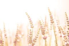 Fiore nel giardino, parco, cortile, fiore della lavanda del prato in Th Fotografie Stock