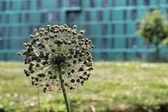 Fiore nel parco dell'estremità di miglio Immagini Stock