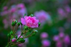 Fiore nel tramonto Fotografia Stock