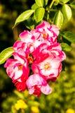Fiore nella flora reale, provincia Tailandia di Rosa di chiangmai Fotografie Stock