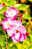 Fiore nella flora reale, provincia Tailandia di Rosa di chiangmai Fotografie Stock Libere da Diritti