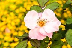 Fiore nella flora reale, provincia Tailandia di Rosa di chiangmai Immagini Stock