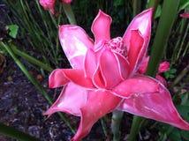 Fiore nella foresta pluviale del Perù 2 Fotografia Stock Libera da Diritti