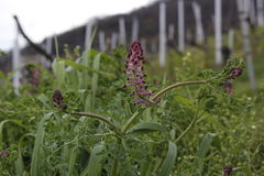 Fiore nella vigna Fotografie Stock