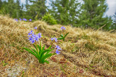 Fiore nelle montagne Immagini Stock Libere da Diritti