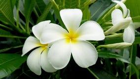 Fiore nelle stagioni primaverili per fondo Immagini Stock Libere da Diritti