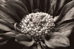 Fiore nero & bianco fotografia stock libera da diritti