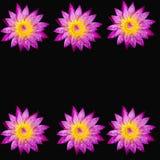 Fiore nero del fondo isolato loto rosa Fotografia Stock Libera da Diritti