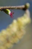 Fiore nocciola femminile Fotografia Stock