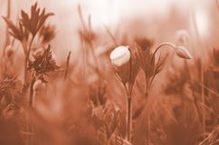 Fiore non aperto di bucaneve del primo piano Il primo fiore della sorgente Tono di corallo immagine stock libera da diritti