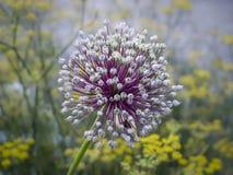 Fiore notevole dell'aster in giardino di piccole fioriture gialle Immagine Stock