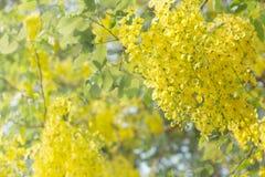 Fiore o Cassia Fistula dorato Immagini Stock