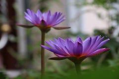 Fiore o ninfea di loto di fioritura Fotografia Stock