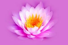 Fiore o ninfea di loto rosa luminoso bianco ed intenso con il centro giallo isolata su un fondo porpora rosa fotografie stock libere da diritti