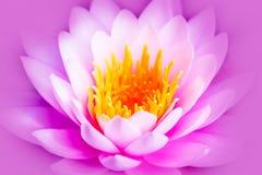 Fiore o ninfea di loto rosa luminoso bianco ed intenso con il centro giallo isolata su un fondo porpora rosa immagini stock