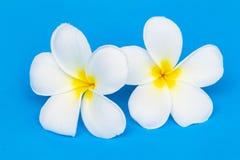 Fiore o plumeria del frangipane su fondo blu fotografia stock