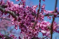 Fiore orientale di Redbud Fotografia Stock