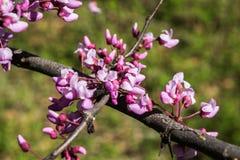 Fiore orientale di Redbud Fotografia Stock Libera da Diritti