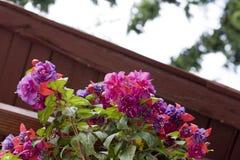Fiore ornamentale - cercelus di Fucsia Immagini Stock Libere da Diritti
