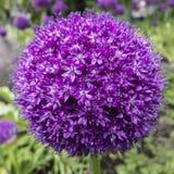Fiore ornamentale dell'allium Fotografia Stock