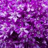 Fiore ornamentale dell'allium Fotografia Stock Libera da Diritti